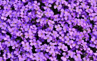 purple-flowers